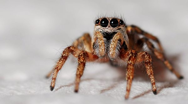 Jumping Spider 11×17 Poster